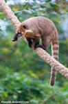 South American Coati by amrodel