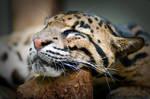 Sleeping Clouded Leopard