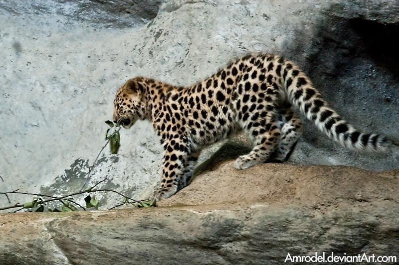 Baby Amur Leopard II by amrodel
