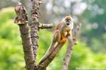 Squirrel Monkey V