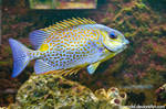Yellow-Blotch Rabbitfish