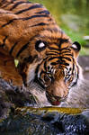 Thirsty Sumatran Tiger