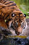 Thirsty Sumatran Tiger