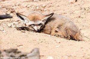 Bat-eared Fox III by amrodel