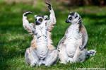 Ring-tailed Lemurs VII