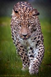 Persian Leopard II by amrodel