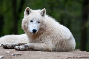 Arctic Wolf IV by amrodel