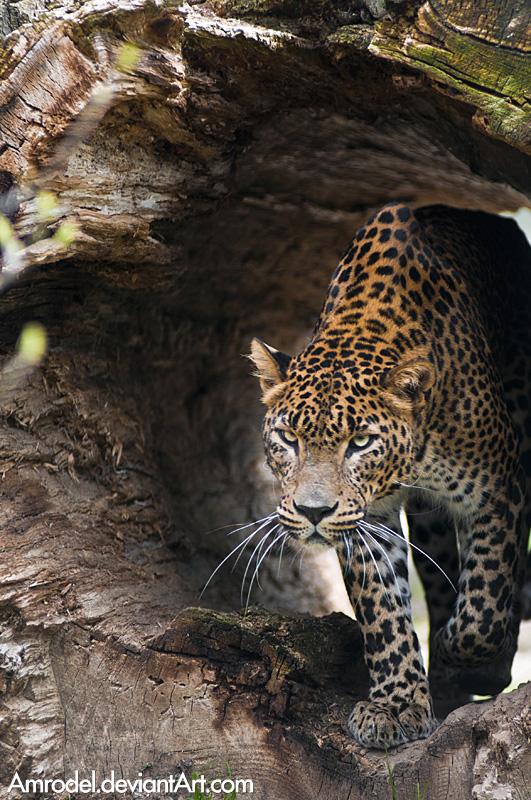 Sri-Lankan Leopard II by amrodel