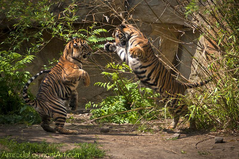 Playful Tiger Cubs by amrodel
