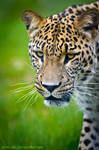 Persian Leopard IV by amrodel