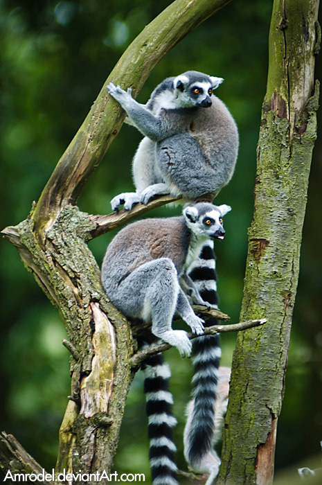 Curious Lemurs by amrodel