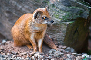Yellow Mongoose by amrodel