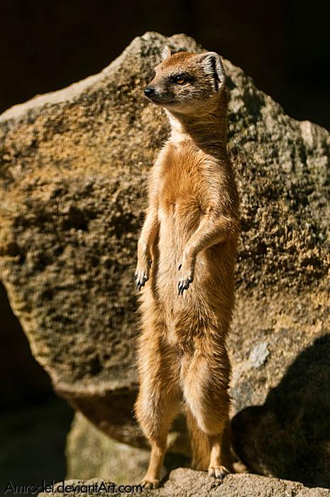 Yellow Mongoose II by amrodel