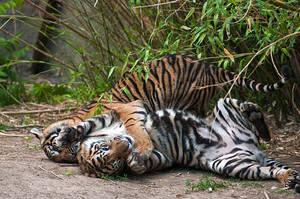 Playful Tiger Cubs II by amrodel