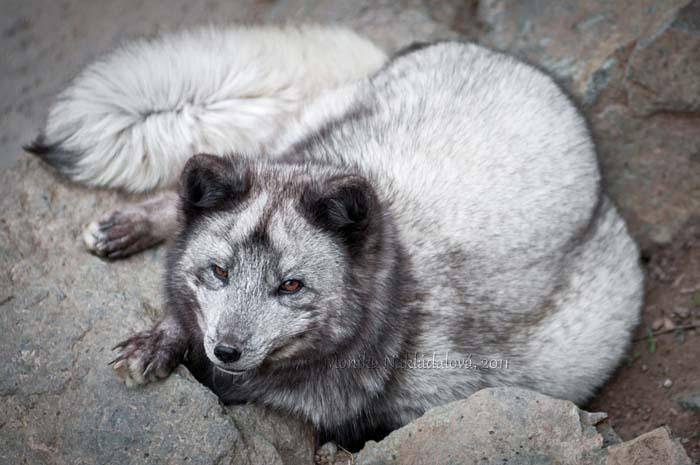 Soft Foxy, Warm Foxy, Little Ball of Fur by amrodel