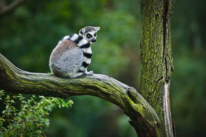 Ring-tailed Lemur VIII by amrodel