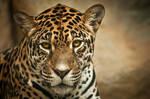 Curious Jaguar