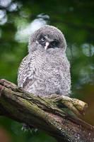 Little Great Grey Owl by amrodel