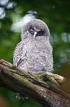 Little Great Grey Owl
