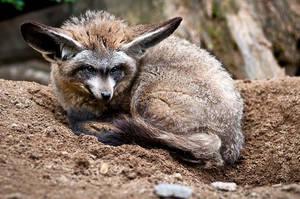 Bat-Eared Fox IV by amrodel