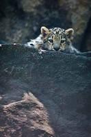 Snow Leopard Cub by amrodel