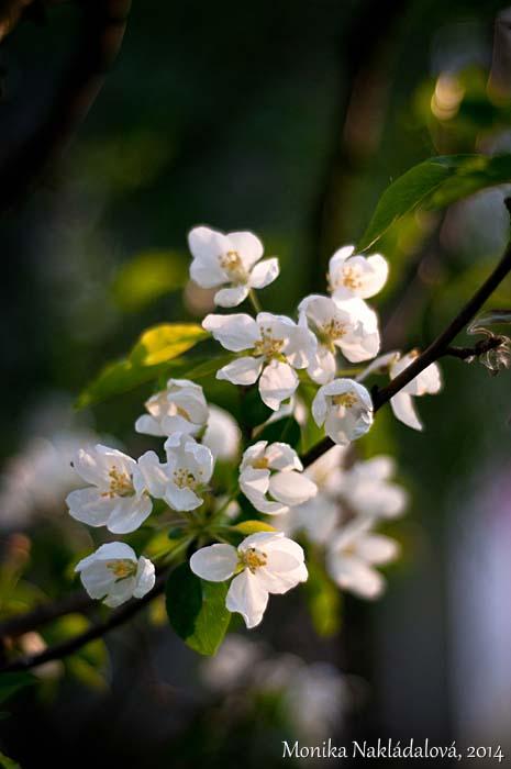 Apple Tree in Spring by amrodel