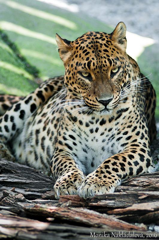 Sri Lankan Leopard by amrodel