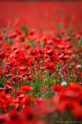 Poppy Field by amrodel