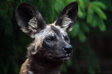 Wild Dog by amrodel