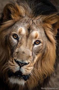 Lion Face III