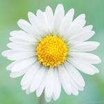 Daisy Centered