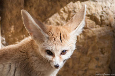 The Elusive Fennec by amrodel