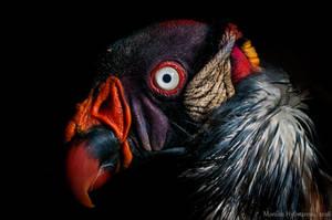 King Vulture by amrodel