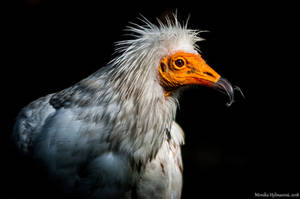 Egyptian vulture by amrodel
