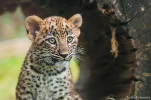Persian Leopard Cub by amrodel