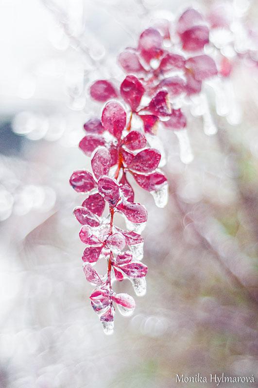 Frozen Leaves by amrodel