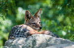 Black-Backed Jackal by amrodel