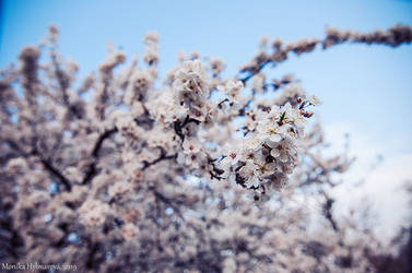 White Blooms by amrodel