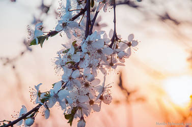 White Blooms II by amrodel