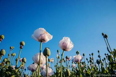 20/52 Week Photo Challenge: White Poppy