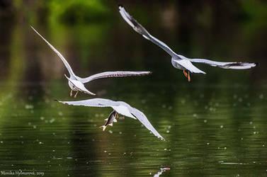 Envious Gulls