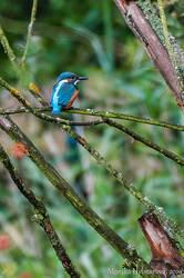 Uncommon Kingfisher III