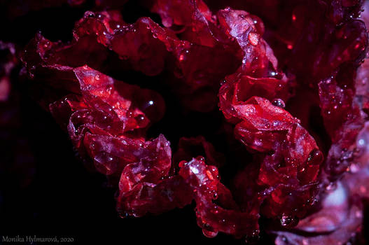 Withering Red Poppy