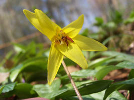 Trout Lily 1