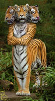 Triple Tiger Taur