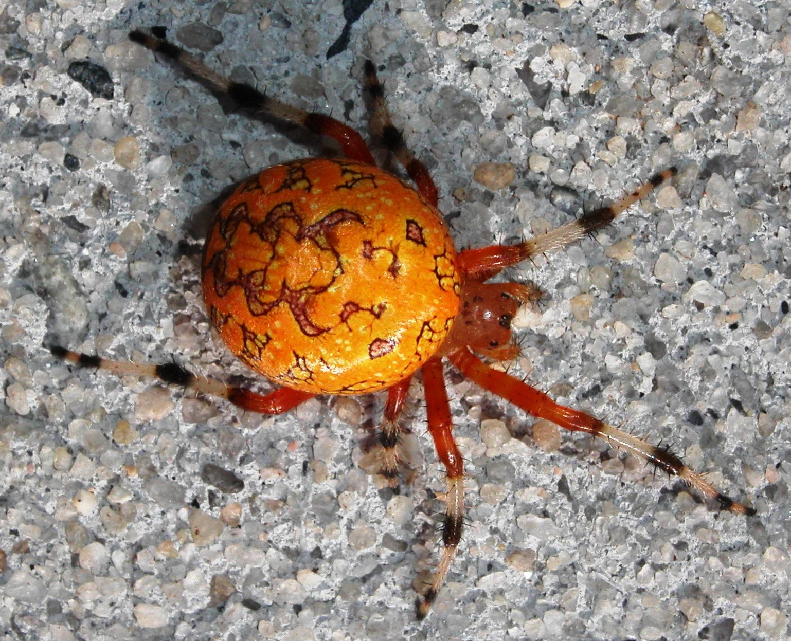 Large orange spider pictures