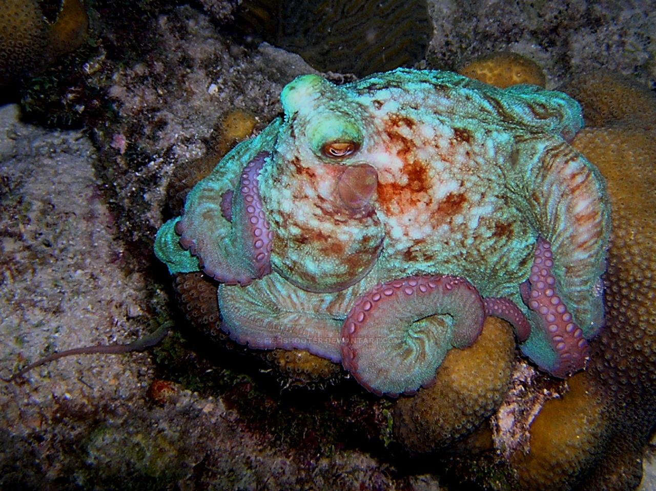 Caribbean Reef Octopus 1 by FishShooter on DeviantArt