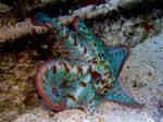 Caribbean Reef Octopus 4