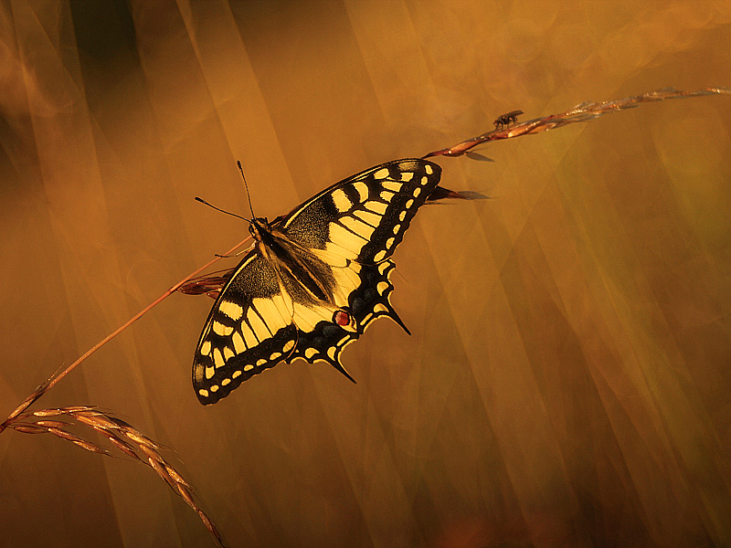 Continental Swallowtail (Papilio machaon)