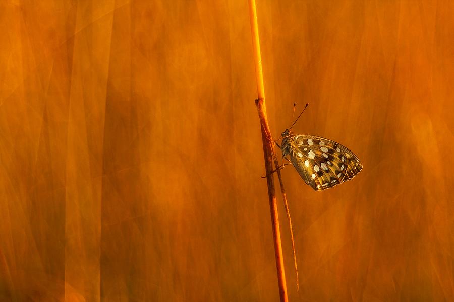 High Brown Fritillary (Argynnis aglaja)